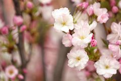 Closeup view of tree branch with tender flowers, space for text. Amazing spring blossom. Closeup view of tree branch with tender flowers outdoors, space for text royalty free stock images