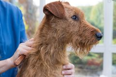 Trimming the neck of the Irish Terrier closeup Stock Images