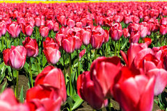 Closeup View of Tulips Stock Photos