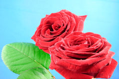 Closeup view of two baccara roses with green leaves Royalty Free Stock Photo