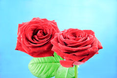 Closeup view of two beautiful baccara roses with green leaves Royalty Free Stock Photo