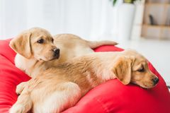 Closeup view of two beige puppies lying on red stock photos