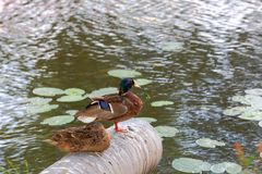 Closeup view of two cute ducks isolated on water surface background. Beautiful nature backgrounds royalty free stock photography