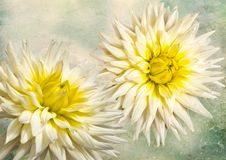 Arty white dahlias. Closeup view of two dahlias in full bloom on a diffused background stock photo