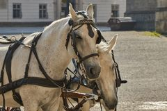 Closeup view of two white cart horses in Salzburg, Austria. stock images