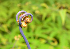 Closeup view of the uluhe fern Dicranopteris linearis in the Big Island of Hawaii Stock Image