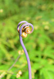Closeup view of the uluhe fern Dicranopteris linearis in the Big Island of Hawaii Stock Photos