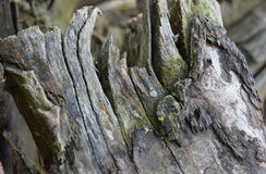 A closeup view of a weathered tree stump. Gray weathered patterns on a worn tree stump Royalty Free Stock Photo