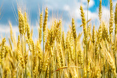 Closeup view of wheat ear Stock Photo