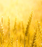 Closeup view of wheat ear. Close up view of wheat ear. Light yellow background royalty free stock photography