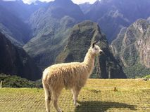 A closeup view of a white llama standing at Machu Picchu royalty free stock photo