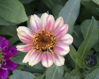 Closeup view white and pink Zinnia profusion bloom stock image