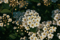 Closeup view of White spirea flowers in the rays of the setting sun Stock Photography