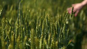 Closeup view of woman's arm walking on wheat field stock video footage