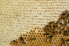 Closeup view of the working bees on honeycomb. Honeycomb with bees background. Honey cells pattern. Beekeeping. Stock Images