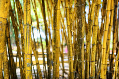 Closeup view of yellow stalks in beautiful tropical bamboo grove Royalty Free Stock Photo