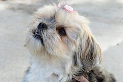 Yorky Dog Breed Royalty Free Stock Image