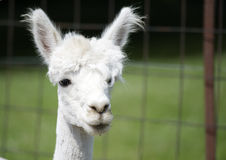Closeup view of young alpaca Royalty Free Stock Image