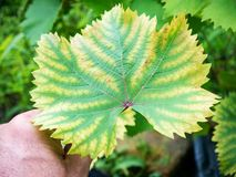 Leaf of grapes with chlorosis Royalty Free Stock Photo