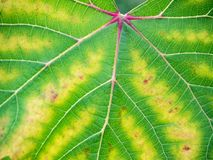 Leaf of grapes with chlorosis closeup Royalty Free Stock Photography
