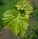Closeup of vine grape leaf royalty free stock photos