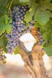 Closeup of Vine with Lush, Ripe Wine Grapes on the Vine Ready for Harvest Royalty Free Stock Photography