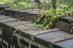 Closeup of vine on a wall Stock Photo