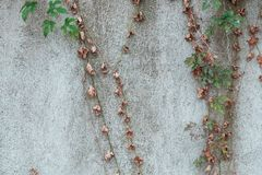 closeup of vines against wall in early winter