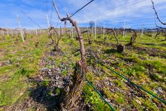 Closeup of vines, for the production of champagne, in the Champagne region Royalty Free Stock Images