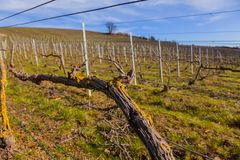 Closeup of vines, for the production of champagne, in the Champagne region Royalty Free Stock Photo