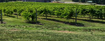 Closeup of vines in vineyard Royalty Free Stock Photography