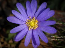 A closeup of a windflower Anemone blanda in spring Stock Image