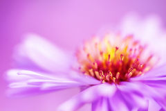 Closeup violet aster flower background Stock Photography
