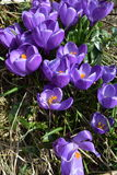 Closeup of Violet Crocuses with Leaves, Crocus vernus, portrait orientation. High-resolution closeup shot of violet crocuses (Crocus vernus) on a bright sunny Royalty Free Stock Photos