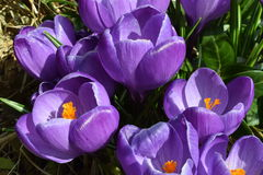 Closeup of Violet Crocuses with Leaves, Crocus vernus, portrait orientation. High-resolution closeup shot of violet crocuses (Crocus vernus) on a bright sunny Stock Photography