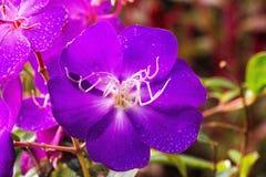 Violet-flower. Closeup of violet-flower in nature stock images