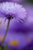 Closeup violet flowers for nice pattern. Violet camomile daisy floral background Royalty Free Stock Photography
