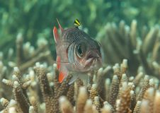 Violet or lattice soldierfish  Myripristis violacea  swimming over coral reef of Bali, Indonesia. Closeup of a violet or lattice soldierfish  Myripristis Royalty Free Stock Photography