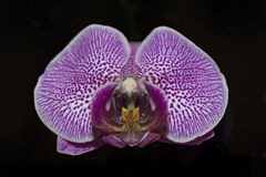 Closeup of a violet orchid Royalty Free Stock Photography