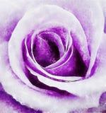 Closeup Violet Rose Fine Art royaltyfri illustrationer