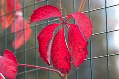 Vivid red leaves Stock Photo