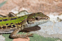 Closeup of a Viviparous lizard Royalty Free Stock Image
