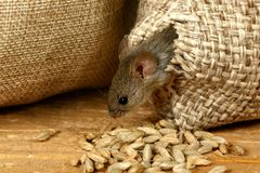 Closeup the vole mouse gets out of the hole in the sack of grain in the storehouse stock images