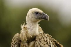 Closeup of a vulture head. Royalty Free Stock Photo