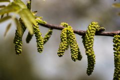 Closeup of walnut male flowers Stock Photography