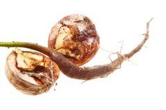 Closeup of a Walnut tree isolated Royalty Free Stock Photo