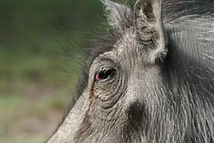 Closeup of warthog face Stock Photos