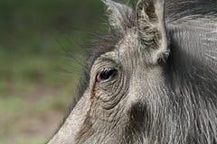 Closeup of warthog face Stock Photos