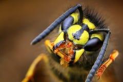 Closeup of wasp Vespula vulgaris  Royalty Free Stock Photo
