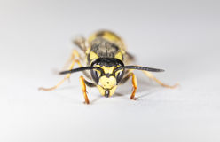 Closeup of a Wasp on White Background Royalty Free Stock Photo
